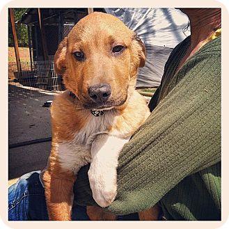 Basset Hound/Golden Retriever Mix Puppy for adoption in LEXINGTON, Kentucky - TAKSI