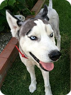 Siberian Husky Mix Dog for adoption in Poway, California - APOLLO