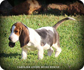 Basset Hound Puppy for adoption in Greenville, South Carolina - Duchess
