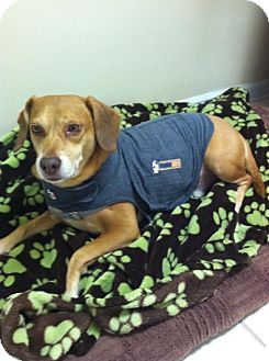 Beagle Dog for adoption in Palm Bay, Florida - Riley