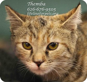 Domestic Shorthair Cat for adoption in Monrovia, California - A Young Female: THEMBA