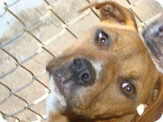 Labrador Retriever Mix Puppy for adoption in Henderson, North Carolina - Bell