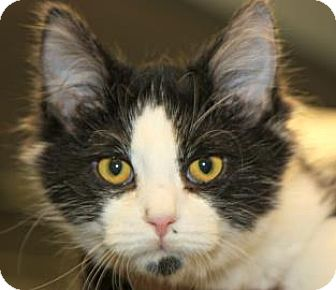 Domestic Shorthair Cat for adoption in Mt. Pleasant, Michigan - Tinsel