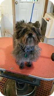 Cairn Terrier Mix Dog for adoption in Edmond, Oklahoma - Stan