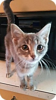 Domestic Shorthair Kitten for adoption in Toledo, Ohio - Sutherland