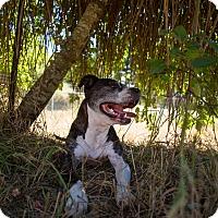 Adopt A Pet :: Dodger - Portland, OR