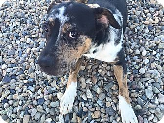 Catahoula Leopard Dog Mix Dog for adoption in Gunnison, Colorado - Alma