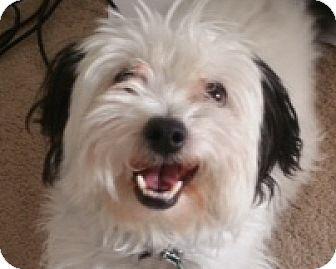 Shih Tzu Mix Dog for adoption in Las Vegas, Nevada - Willow