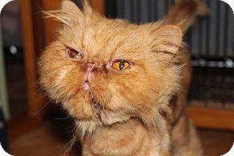 Persian Cat for adoption in Tucson, Arizona - Leo