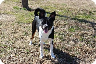 Boston Terrier Mix Dog for adoption in Hershey, Pennsylvania - Napoleon