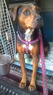 Catahoula Leopard Dog/American Bulldog Mix Dog for adoption in Orange Lake, Florida - Lady