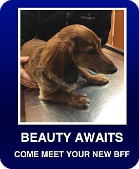 Dachshund Dog for adoption in Morrisville, Pennsylvania - Lily