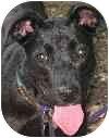 Labrador Retriever Mix Dog for adoption in Eatontown, New Jersey - Abby