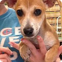 Dachshund/Chihuahua Mix Puppy for adoption in Centerville, Georgia - Simon