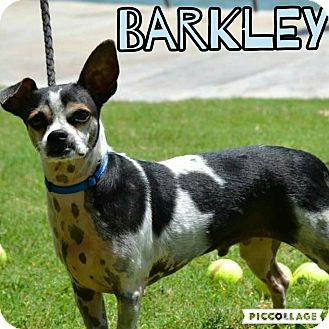 Jack Russell Terrier/Terrier (Unknown Type, Medium) Mix Dog for adoption in Scottsdale, Arizona - Barkley