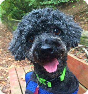 """Poodle (Miniature) Mix Dog for adoption in Seattle, Washington - """"Beau Marley"""""""