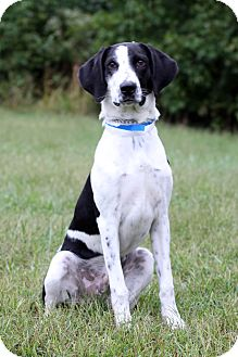Great Dane Mix Dog for adoption in Waldorf, Maryland - Kobe