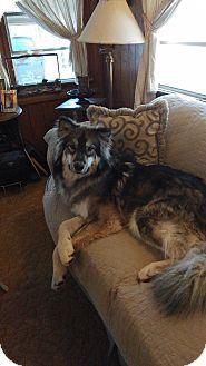 Alaskan Malamute/Husky Mix Dog for adoption in Pinetop, Arizona - Nanuk
