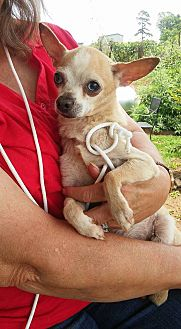 Chihuahua Mix Dog for adoption in Thomaston, Georgia - Chihuahua
