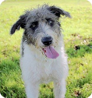 Schnauzer (Standard)/Poodle (Standard) Mix Dog for adoption in Vancouver, British Columbia - A - LUCIE