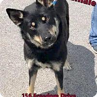 German Shepherd Dog Mix Dog for adoption in Fairfax Station, Virginia - Reva