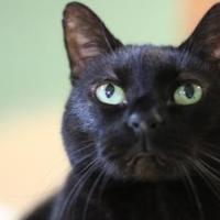 Adopt A Pet :: Simon - Metairie, LA