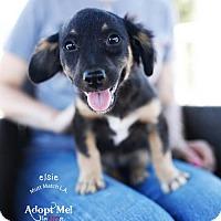 Adopt A Pet :: Elsie - Castaic, CA