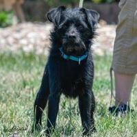 Adopt A Pet :: Midnight - Ottumwa, IA