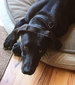 Labrador Retriever/Whippet Mix Dog for adoption in Potomac, Maryland - Abby
