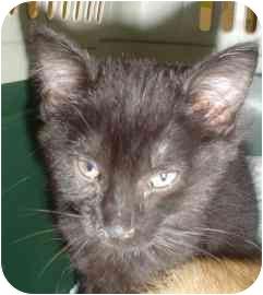 Domestic Mediumhair Kitten for adoption in Walker, Michigan - Midnight