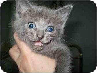 Domestic Mediumhair Kitten for adoption in San Ramon, California - More Kittens