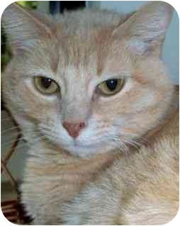 Domestic Shorthair Cat for adoption in San Clemente, California - RUFFLES