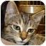 Photo 1 - Bengal Kitten for adoption in Houston, Texas - Lollipop