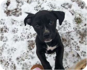 Labrador Retriever/Beagle Mix Puppy for adoption in Rochester, Michigan - Sophie