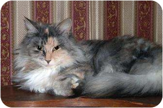 Domestic Longhair Cat for adoption in Greer, South Carolina - Miss Kitty