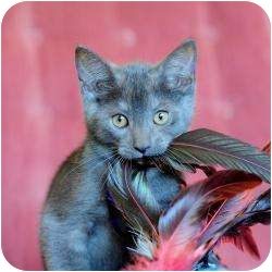 Russian Blue Kitten for adoption in Ft. Lauderdale, Florida - Blue