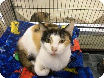 Domestic Shorthair Cat for adoption in Columbus, Georgia - Lillith 5C63