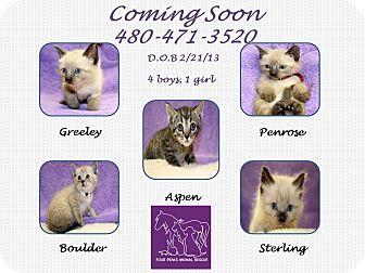 Siamese Kitten for adoption in Scottsdale, Arizona - Colorado Litter