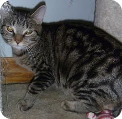 Domestic Shorthair Cat for adoption in Hamburg, New York - Chilly