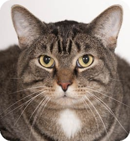 Domestic Shorthair Cat for adoption in Chicago, Illinois - Harry Potter