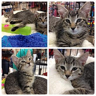 American Bobtail Kitten for adoption in Vero Beach, Florida - Rio,, Maui and Fij