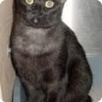 Domestic Shorthair Cat for adoption in Miami, Florida - Nora