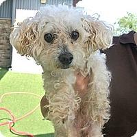 Adopt A Pet :: Rocky - white settlment, TX