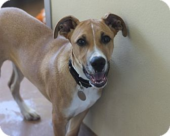 Boxer/Shepherd (Unknown Type) Mix Puppy for adoption in Chicago, Illinois - Jimmy