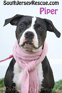 Boxer/Pointer Mix Dog for adoption in Gibbstown, New Jersey - Piper