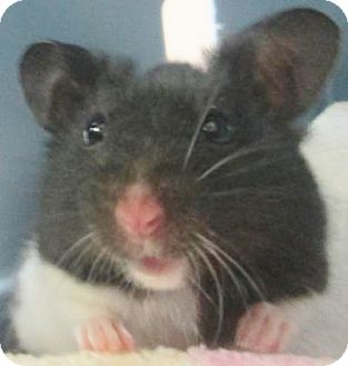 Hamster for adoption in Benbrook, Texas - Brynn