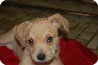 Border Terrier/Cairn Terrier Mix Puppy for adoption in KITTERY, Maine - PIPPI