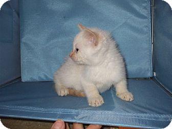 Siamese Kitten for adoption in Lenexa, Kansas - adoption pending-N