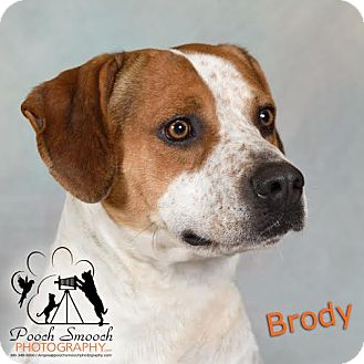 Basset Hound/American Bulldog Mix Dog for adoption in Broadway, New Jersey - Brody