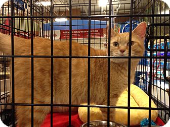 Domestic Shorthair Cat for adoption in Muncie, Indiana - Katrina
